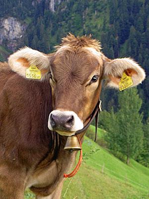 Maruler Kuh